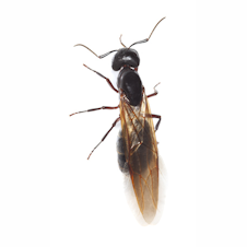 Reproductive Carpenter Ant