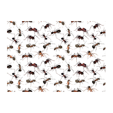 General Ant Information